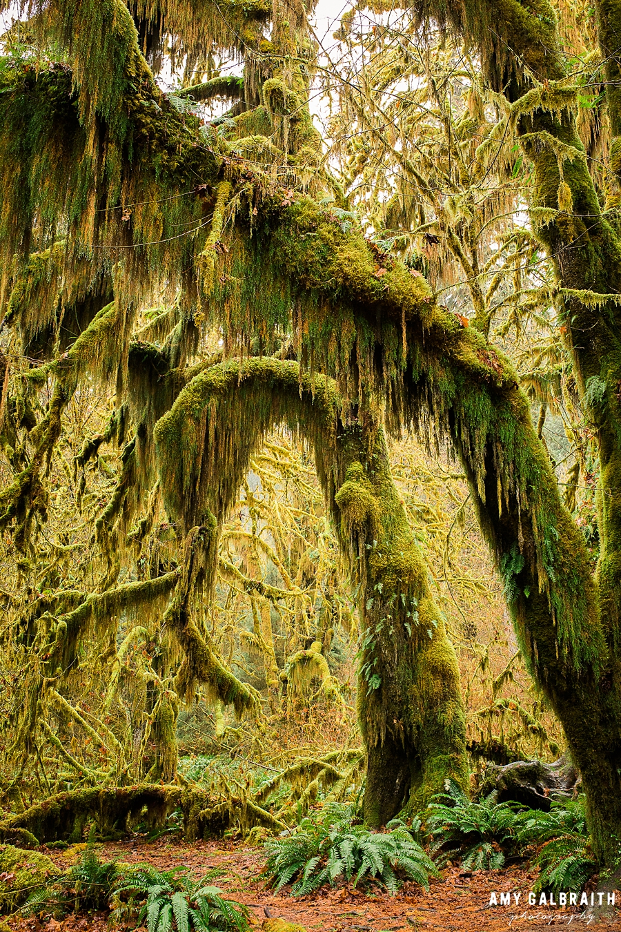 maple grove on the hall of mosses trail in olympic national park